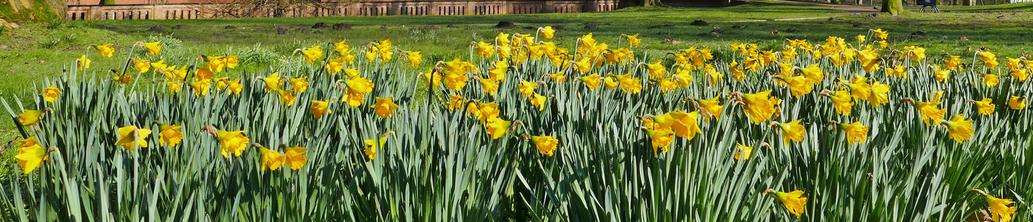 Osterglocken blühen im Schlosspark der Evenburg in Leer