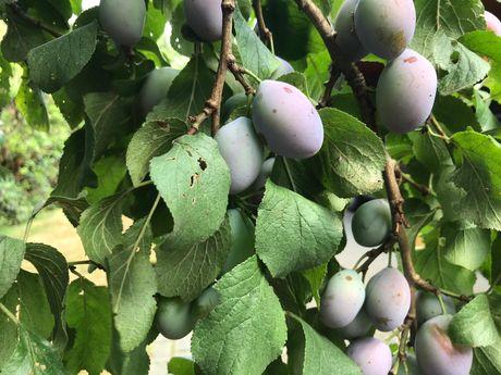 Ein Strauch voller Pflaumen an einem Baum