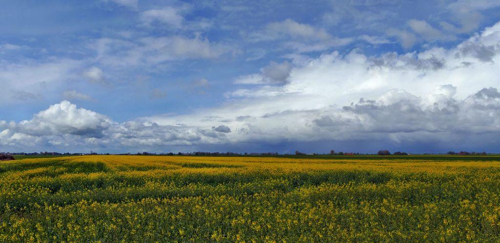 Gelb blühendes Rapsfeld in Bunderhee