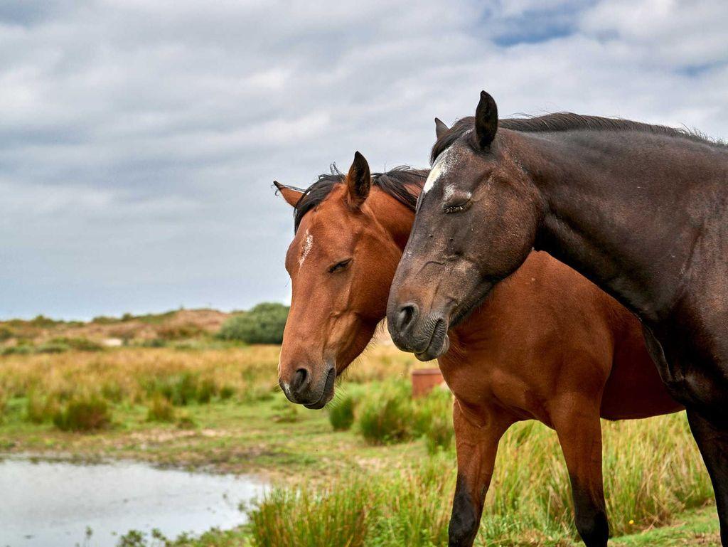 Zwei Pferde stehen eng zusammen auf einer Weide in Ostfriesland