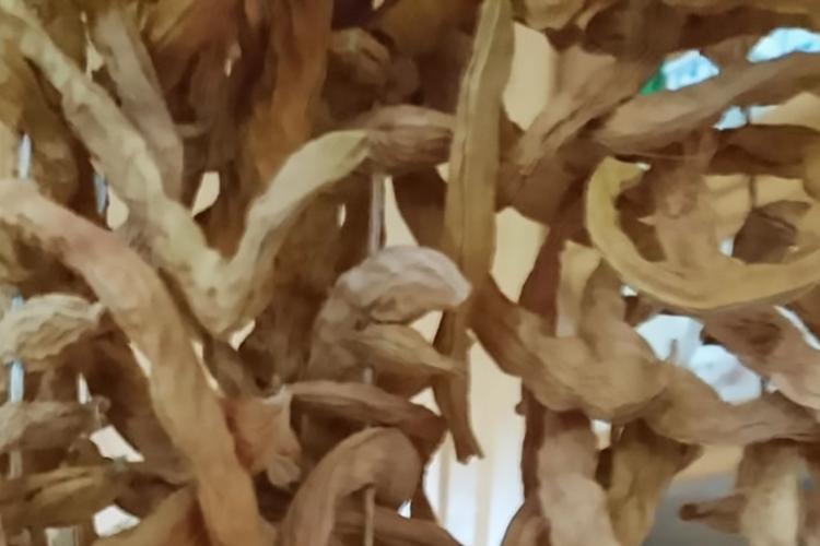 """Detailansicht von aufgereihten getrockneten Bohnen """"Updrögt Bohnen"""""""