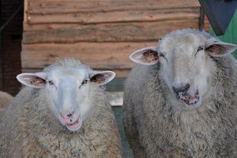 Das Schaf – wollig neugieriges Herdentier
