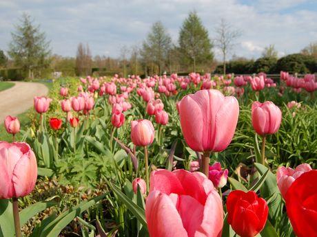 Rosa Tulpenbeet im Park der Gärten in Bad Zwischenahn