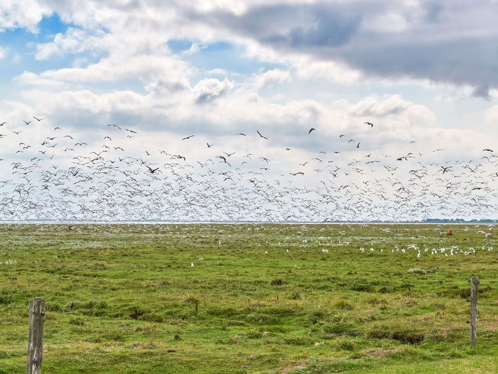 Viele Zugvögel fliegen über einer Salzwiese am Wattenmeer in Ostfriesland