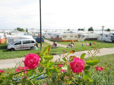 Blühender Rpsenstrauch am Rande des Campingplatzes Schillig
