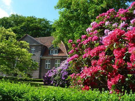 Bunte Blüten von großen Rhododendren, grüne Bäume im Hintergrund
