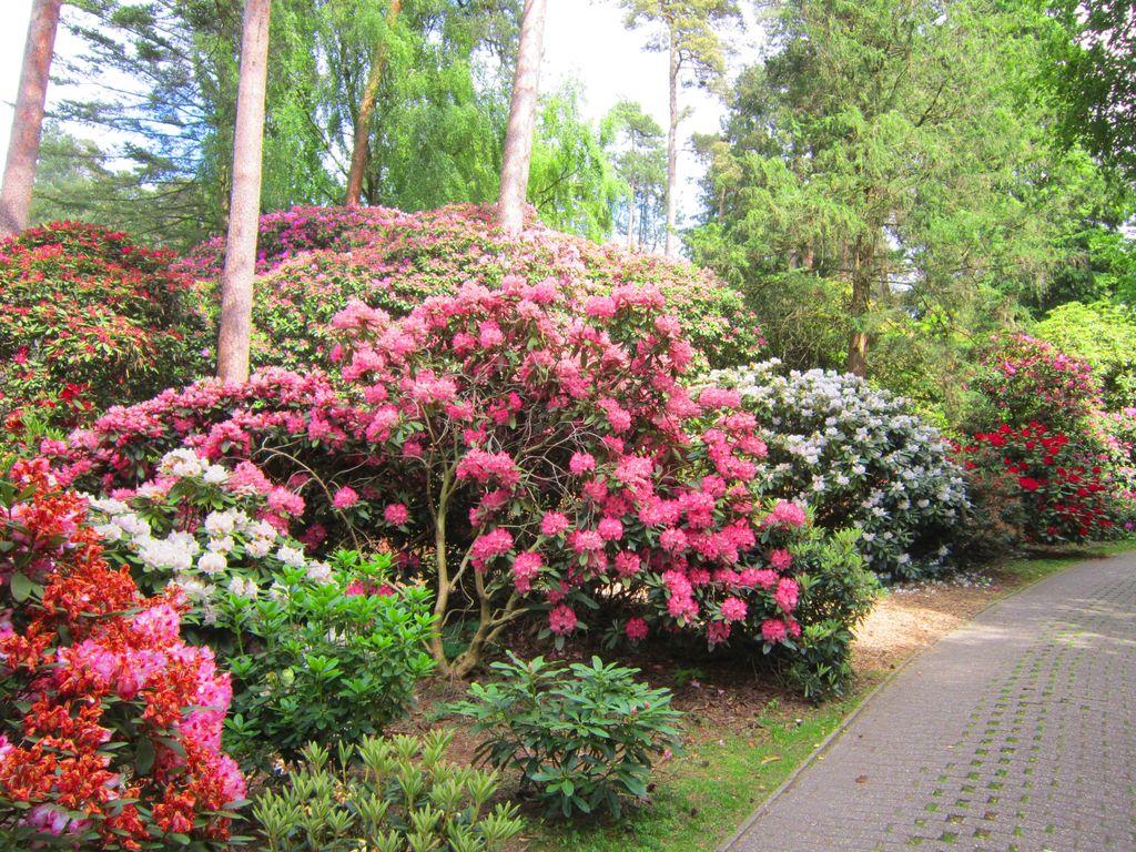 Blühende Rhododendren am Wegesrand in Westerstede