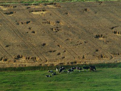 Luftaufnahme von Kühen auf einer Weide in Holtriem
