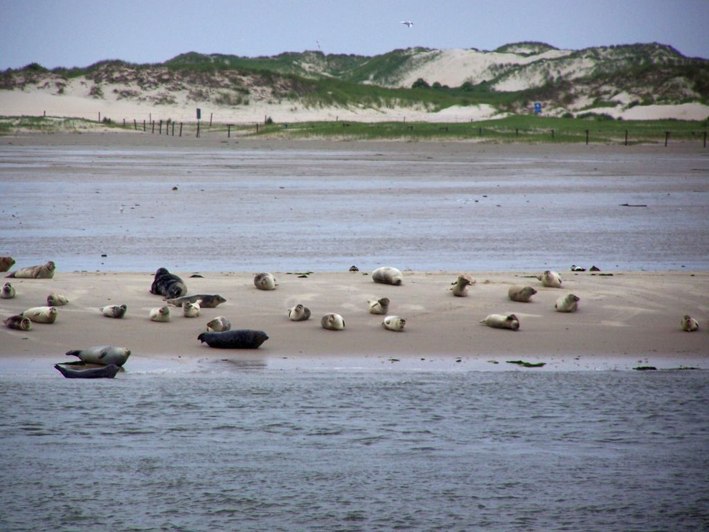 Viele Seehunde liegen auf einer Seehundbank im Watt vor Norderney