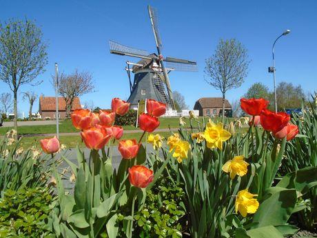 Blühende Tulpen vor der Mühle in Werdum