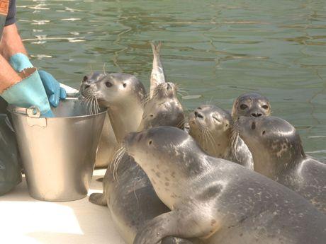 Fütterung der Seehunde durch einen Pfleger in der Seehundstation Norddeich