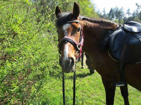 Ein gesatteltes Pferd auf einem Ausritt in die Natur bei Holtgast
