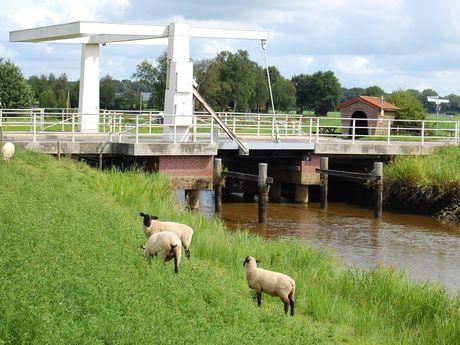 Schafe stehen vor einer weißen Klappbrücke an einem Fehnkanal