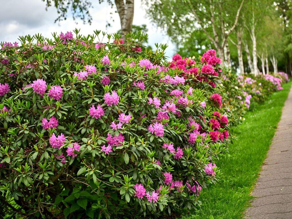Rhododendron Büsche am Wegesrand in Westerstede