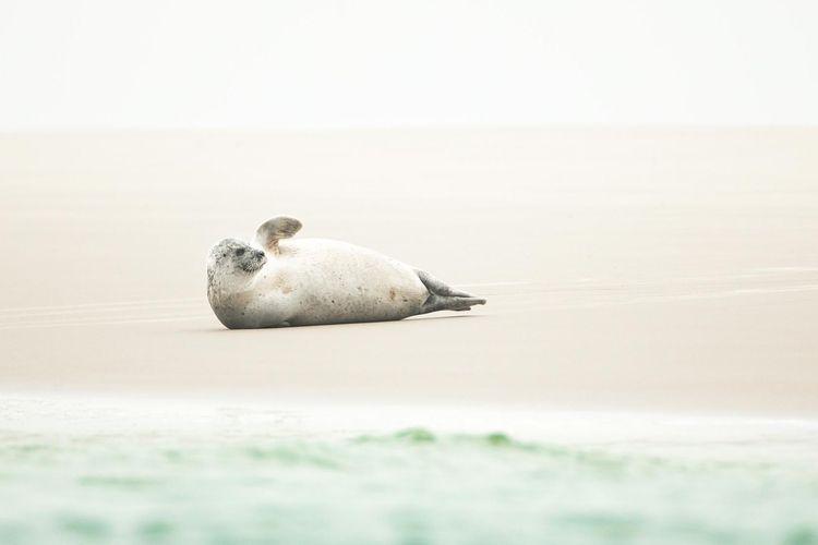 Seehund am Strand von Borkum