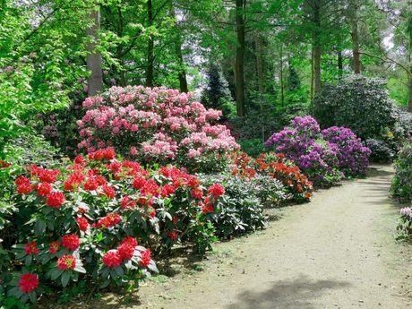 Blühende Rhododendron an einem Weg im Rhododendronpark in Wiefelstede-Gristede